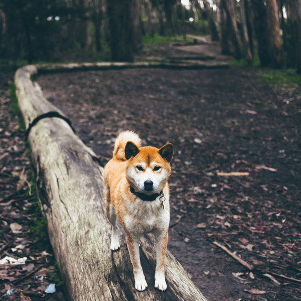 Dog standing on a tree trunk