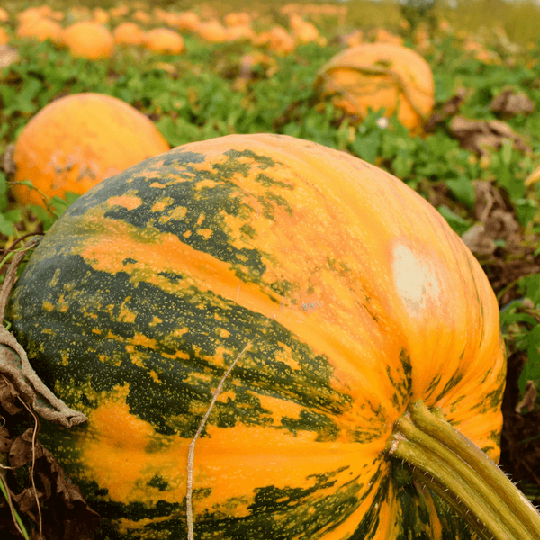 Pumpkins in a garden