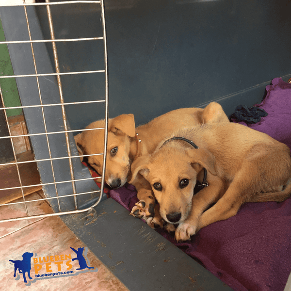 Puppies for adoption at uspca uganda