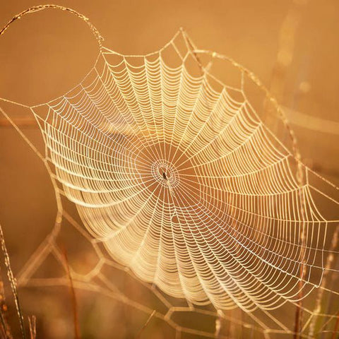 Spider silk is the strongest natural fibre