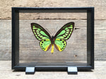 Load image into Gallery viewer, Ornithoptera priamus vitrine