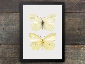 Framed Butterfly Print