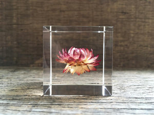 Specimen Cube: Strawflower