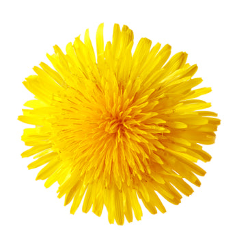 Taraxacum Officinales: Detox to boost weight loss