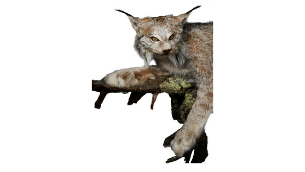 Lynx Life Sized Animal Mount