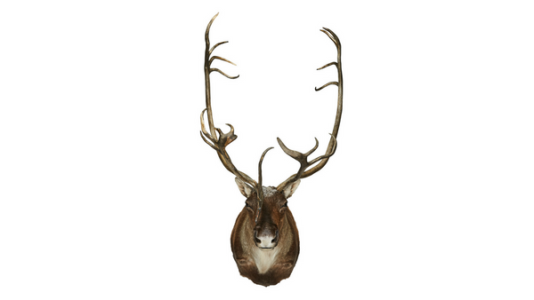 Caribou Full Shoulder Mount