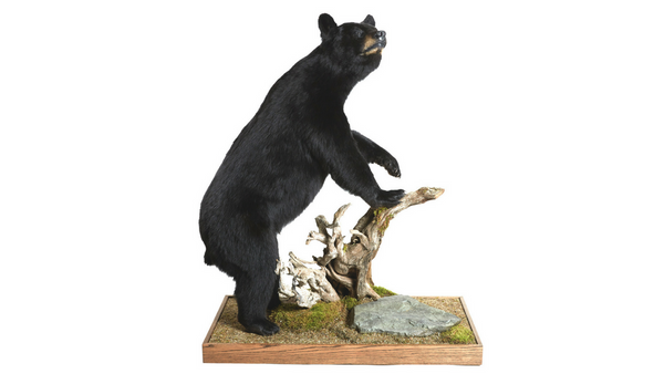 Black Bear Life Sized Animal Mount