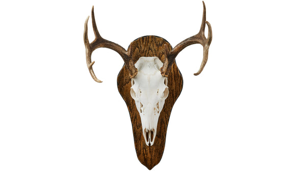 Deer European Mount