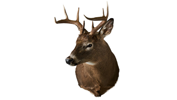 Deer Full Shoulder Mount