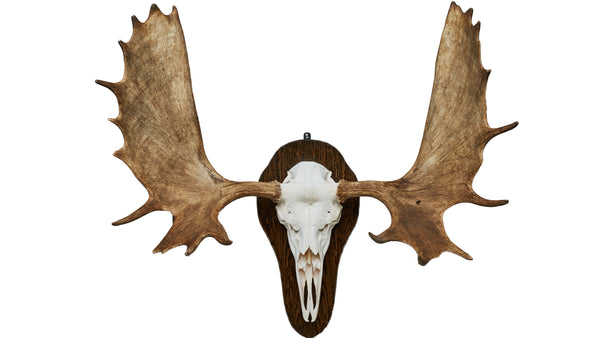 Moose European Mount