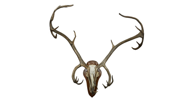 Caribou European Mount