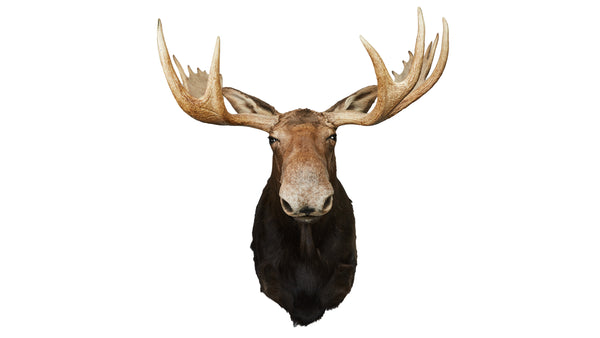 Moose Full Shoulder Mount