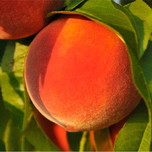 Peach Tobacco E-Liquid - Bang Bang Vapors