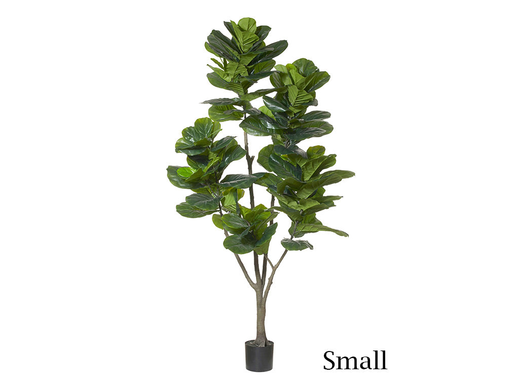 Fiddle Leaf Fig / Small