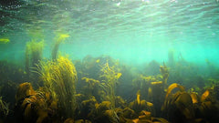seaweed-benefits-underwater-cultivating