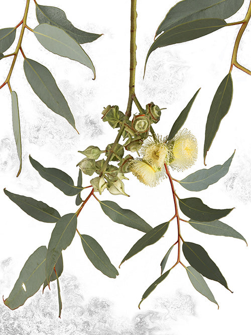Thick Leaved Mallee.