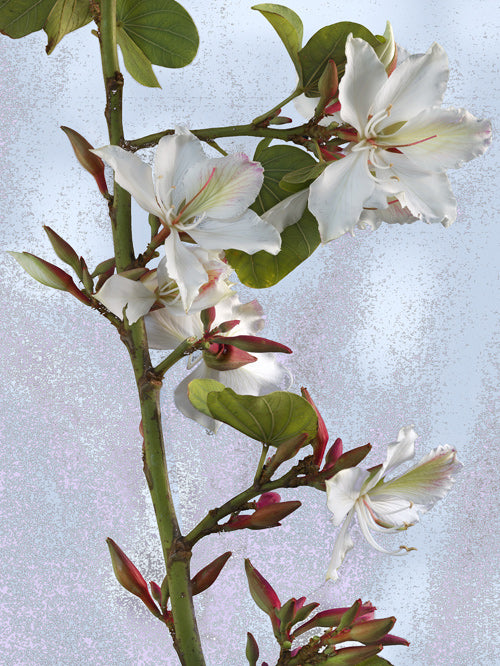 White Orchid Tree.