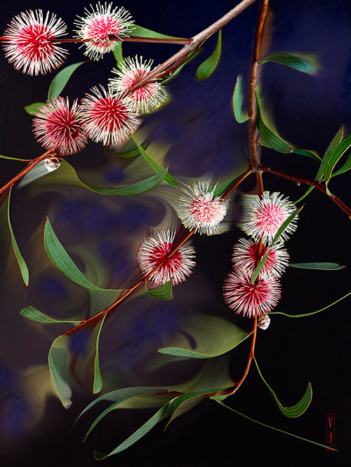Pin-cushion Hakea (B).