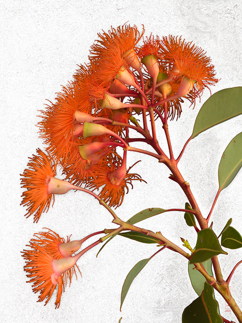 vf-editions botanical greeting card of Albany Redgum flowers