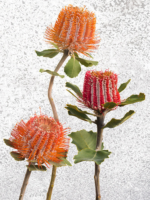 vf-editions botanical greeting card with Albany Banksia flowers