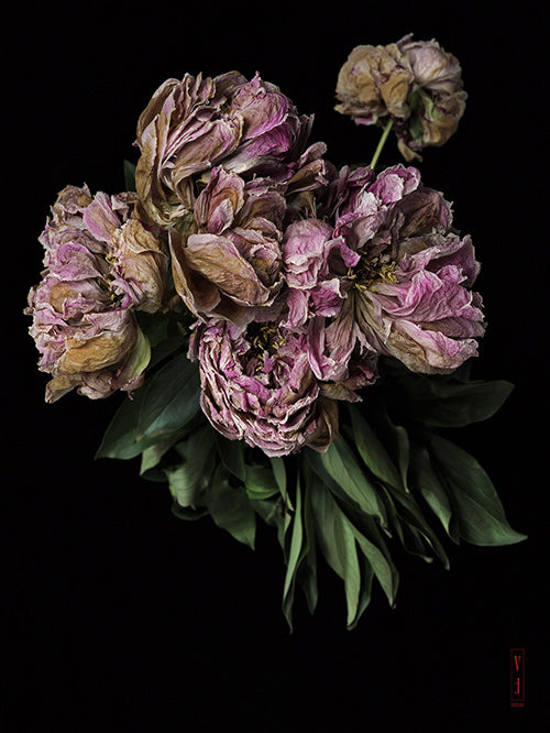 vf-editions botanical greeting card of dried mauve Peony flowers