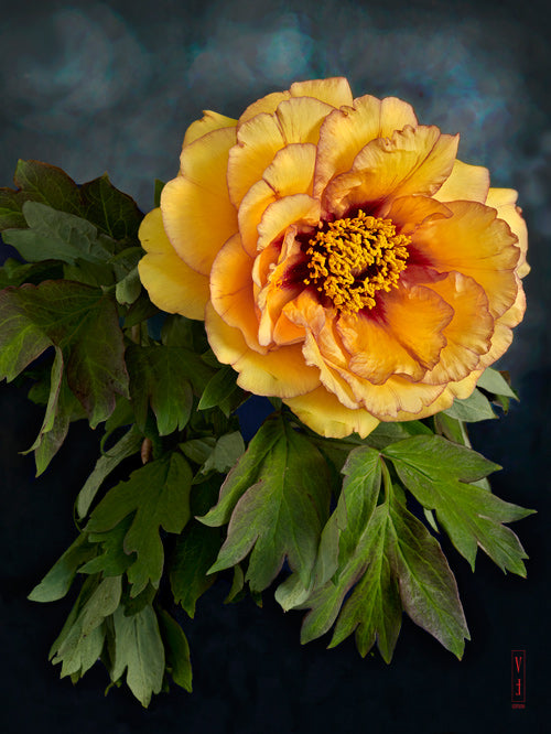 vf-editions botanical greeting card of a yellow Peony flower