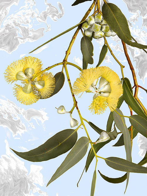 vf-editions botanical greeting card of Shark Bay Mallee flowers