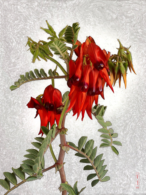 vf-editions botanical greeting card of Sturt's Desert Pea flowers