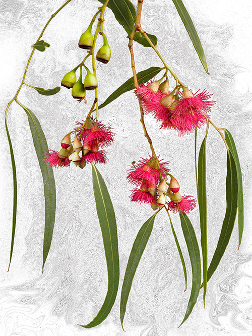 vf-editions botanical greeting card of Yellow Gum flowers