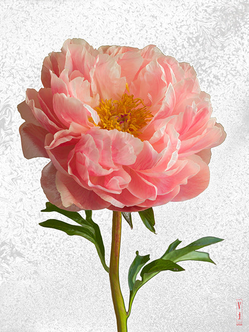 vf-editions botanical greeting card of pale pink Peony flowers