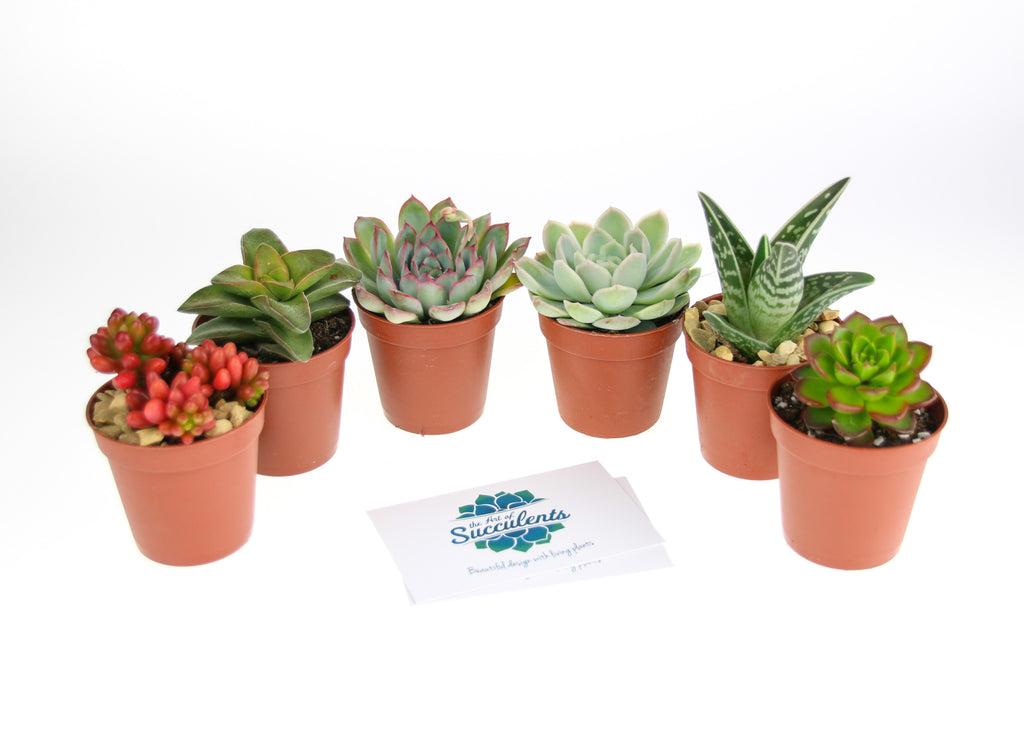 Succulent plants for a terrarium