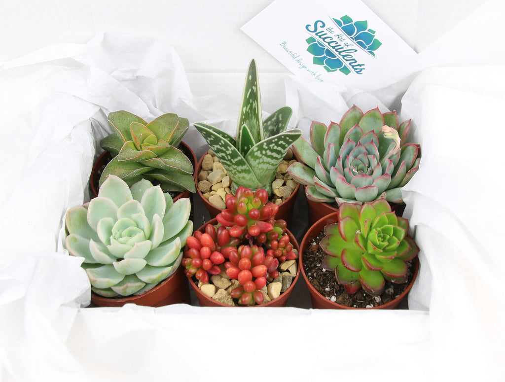 Gift boxed succulent plants