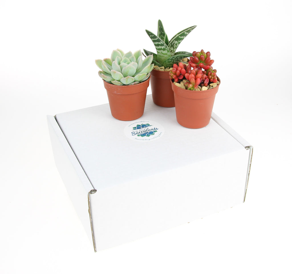 Succulent Plants in gift box