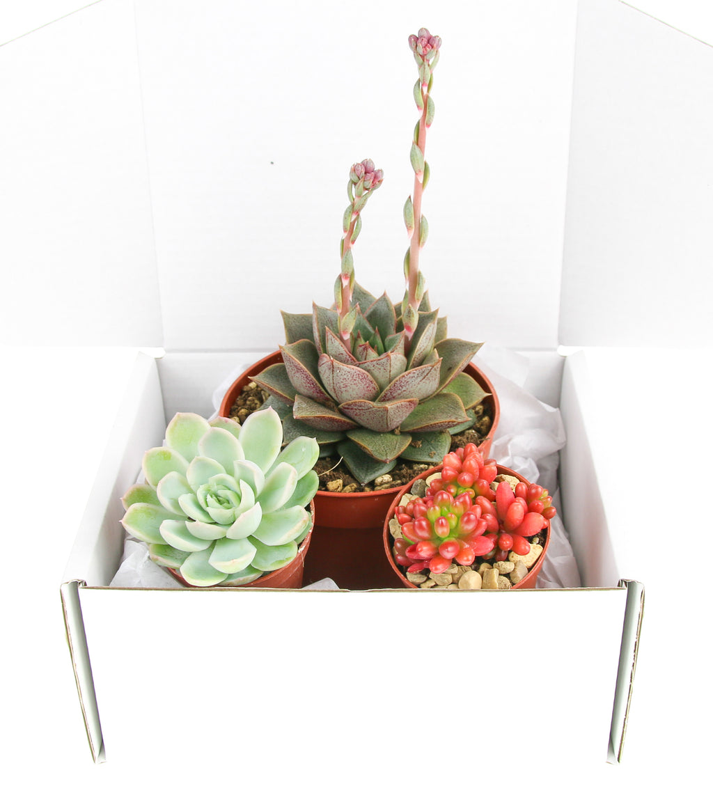 Succulent Selection gift pack