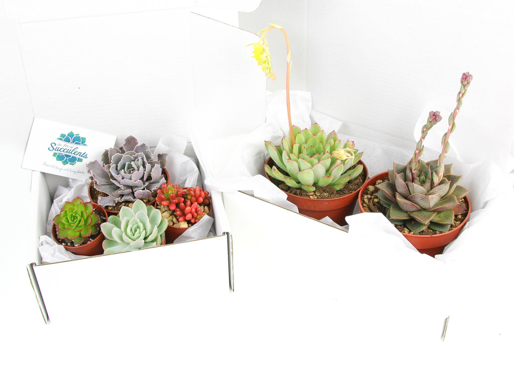 Succulent plants to buy online UK
