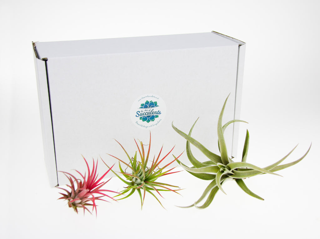 Buy Tillandsia Air Plants