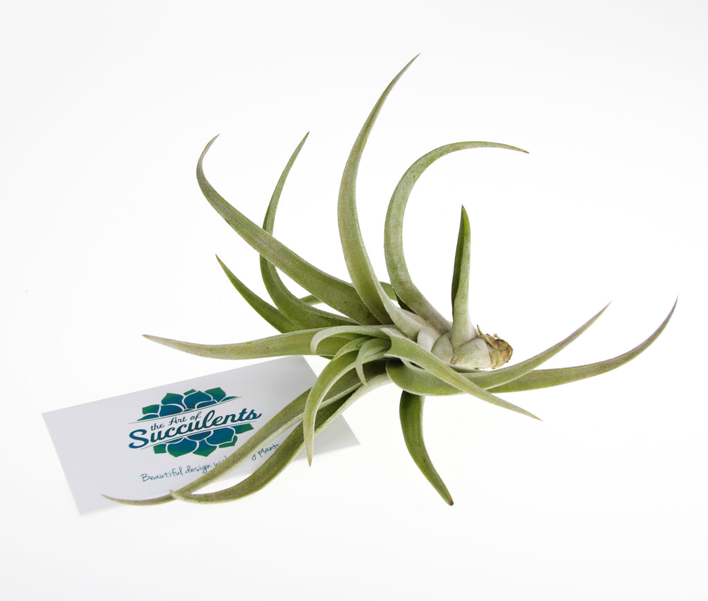 Large Tillandsia Air Plant