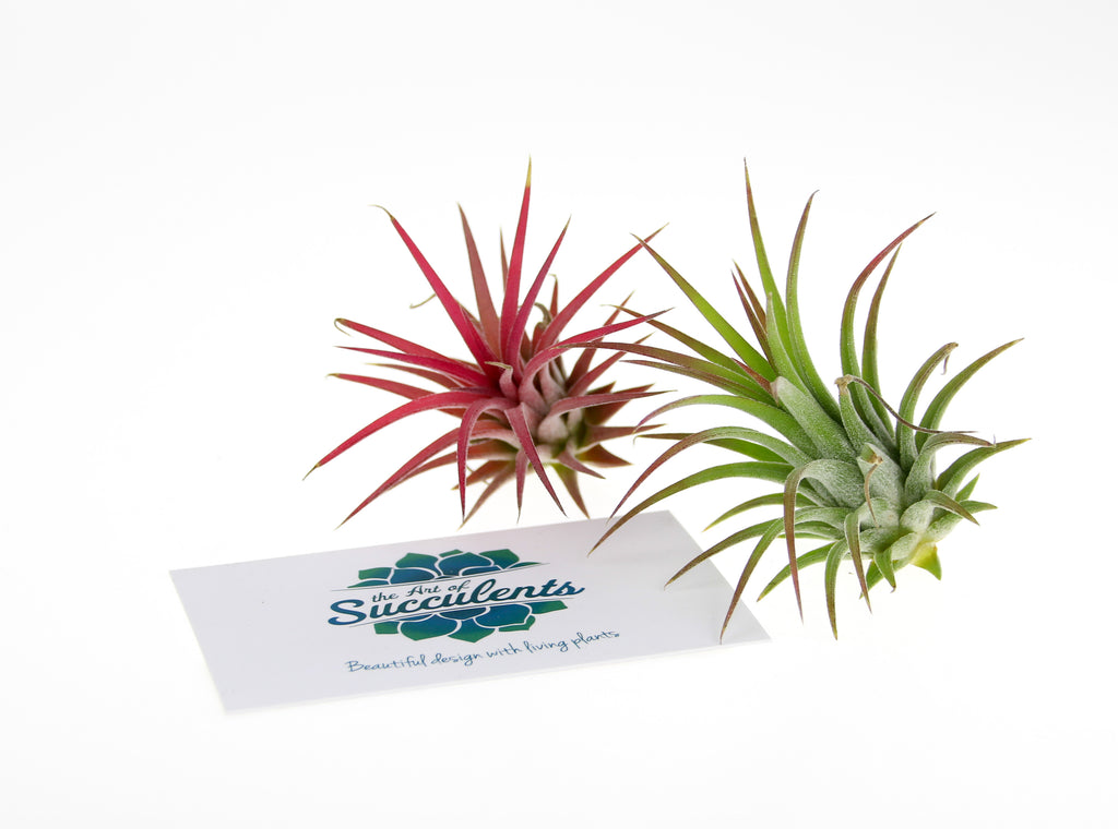 UK Air Plant Stockist