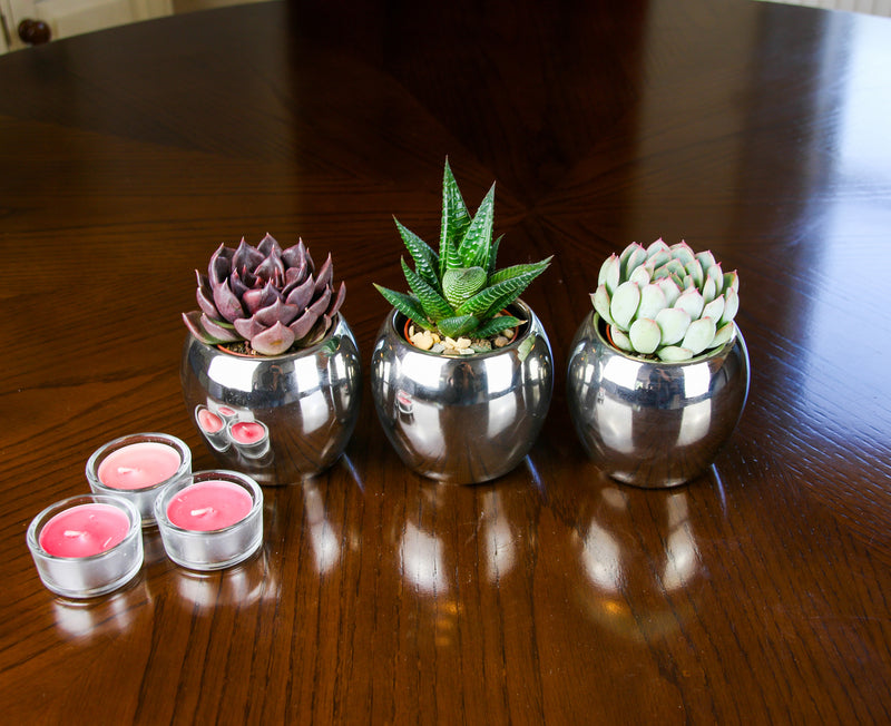 Trio of mini succulents in planter kit