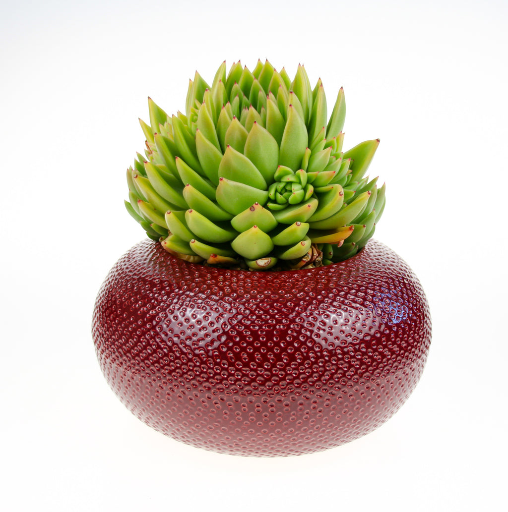 Red Bowl Planter with Huge Stunning Succulent Plant