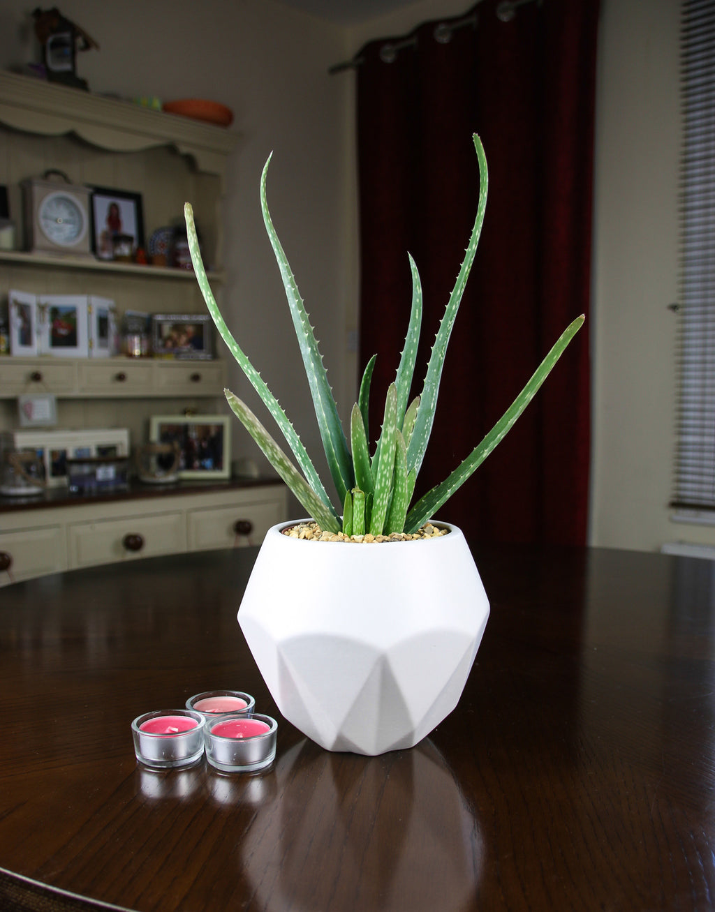 Aloe Vera in white planter