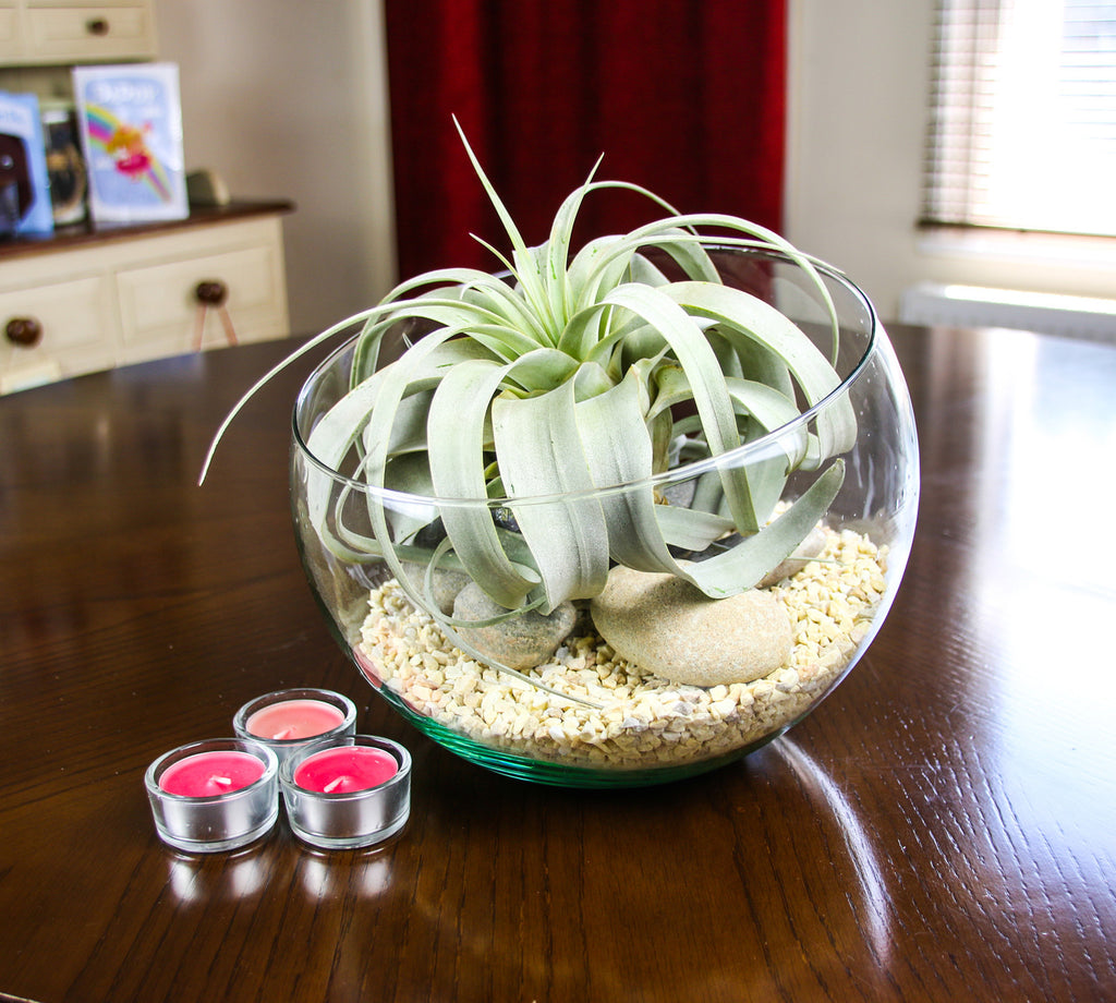 Xerographica Air Plant Glass Terrarium