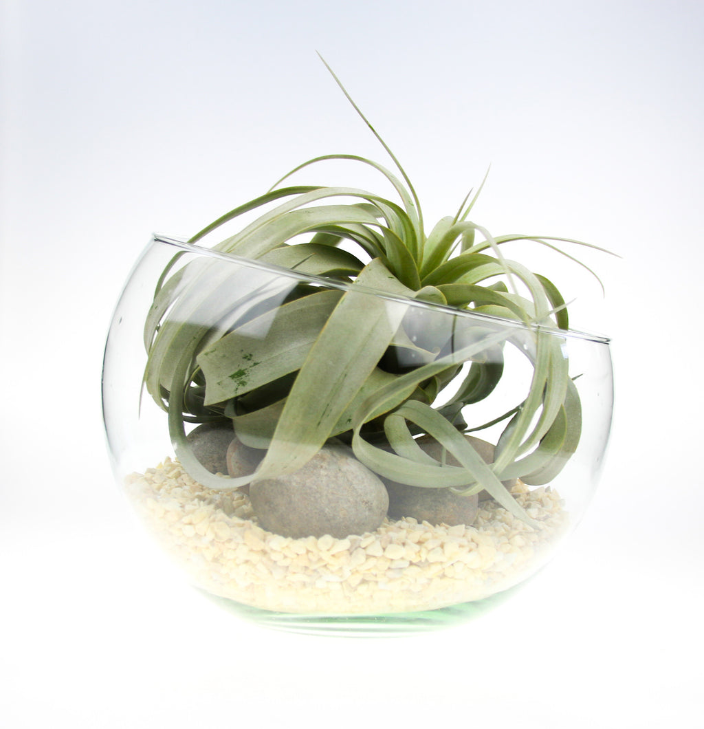 Xerographica Terrarium UK