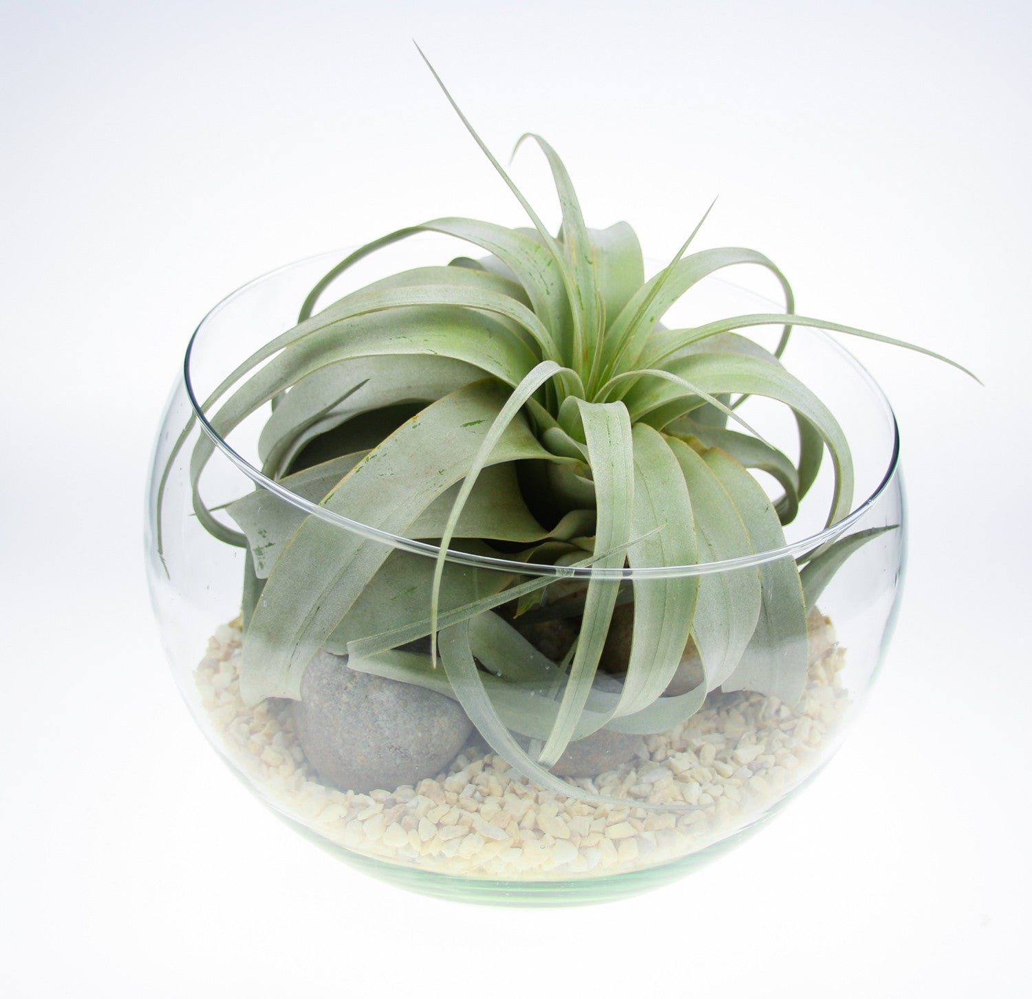 Xerographica Air Plant In Angled Glass Terrarium Large