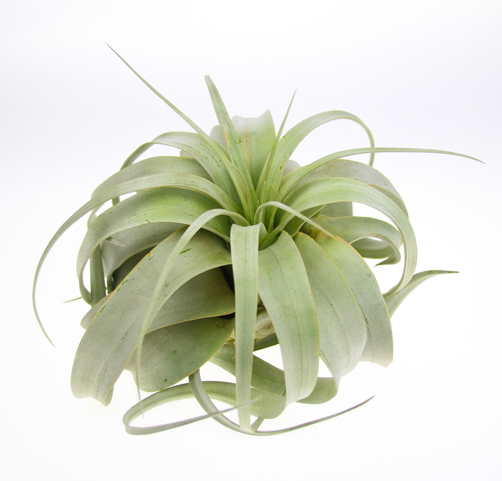 Xerographica Air Plant, UK