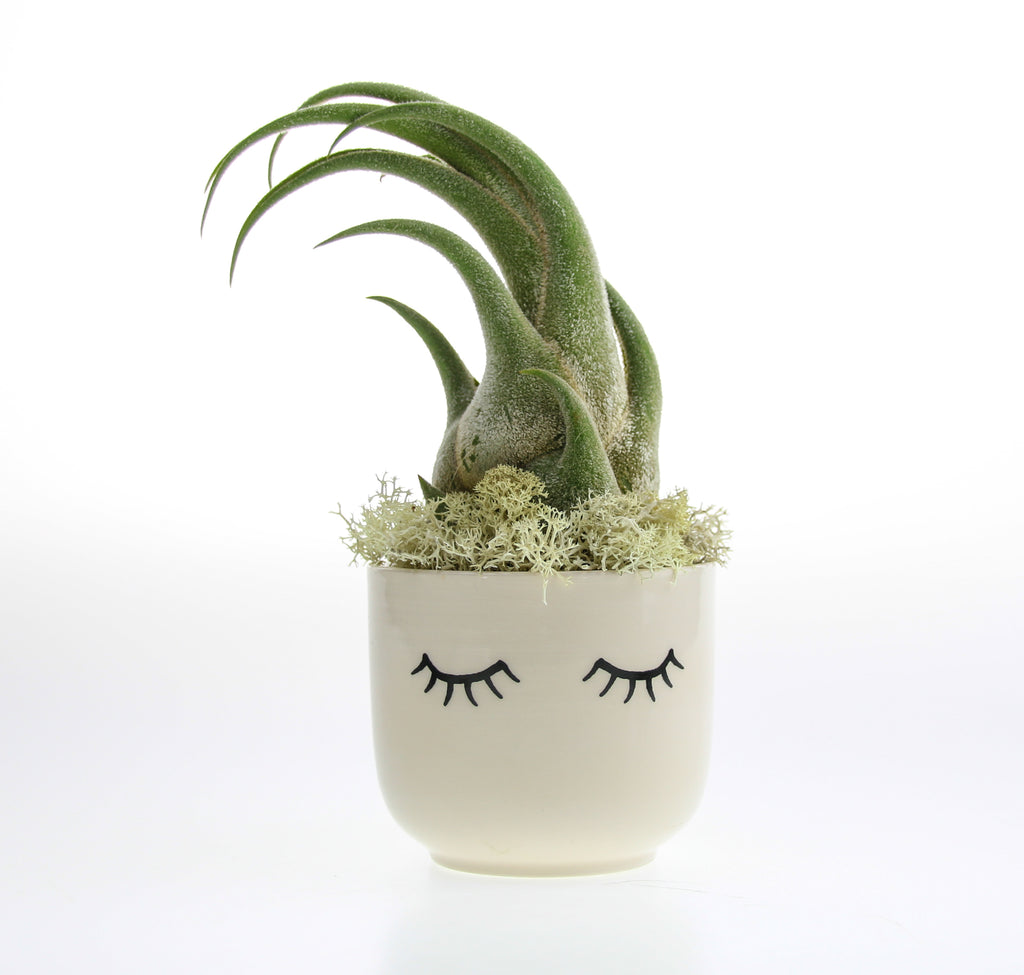 Seleriana Air Plant Gift Idea