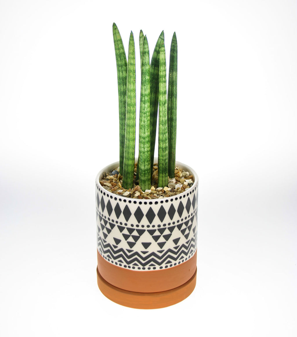 Real Sansevieria Cylindrica to buy online