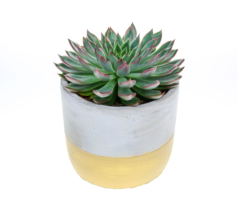 Echeveria in cement planter