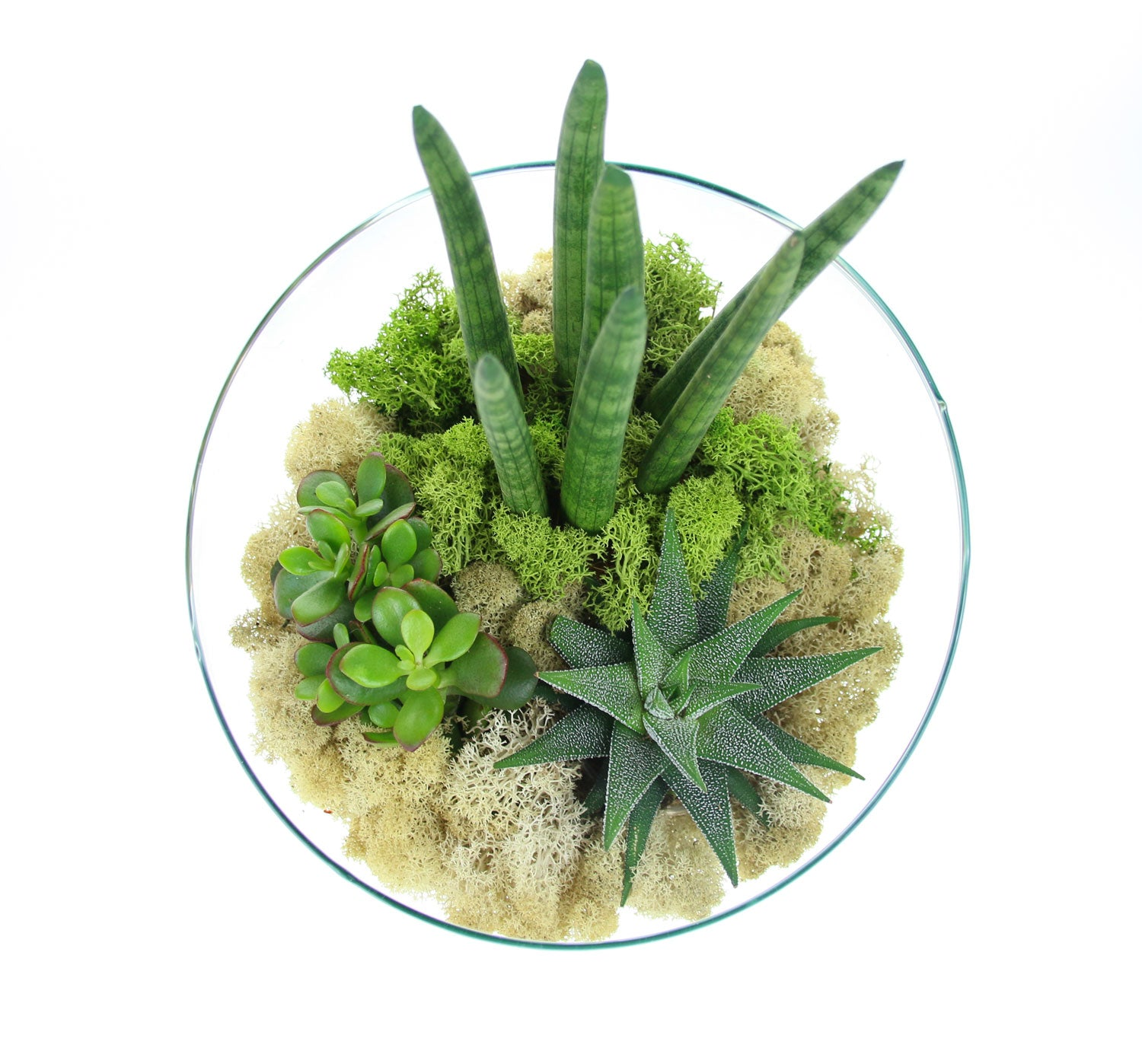 Shades Of Moss Terrarium In Angled Glass Bowl Sansevieria