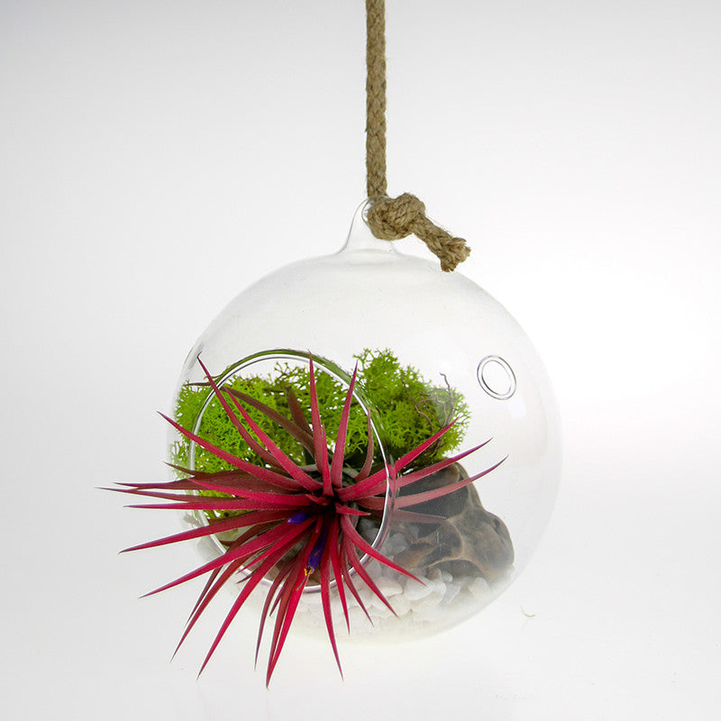 Hanging Glass Terrarium with Tillandsia air plant